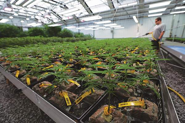 Inside one of the cannabis propagation rooms at PharmaCann in Montgomery, N.Y.